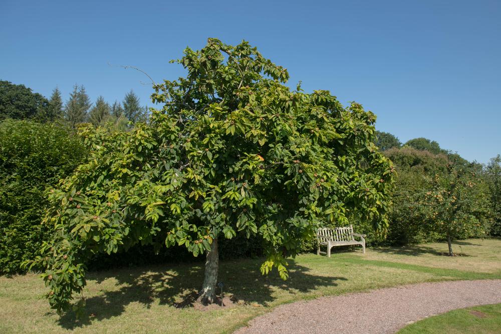 nottingham-medlar-tree.jpg
