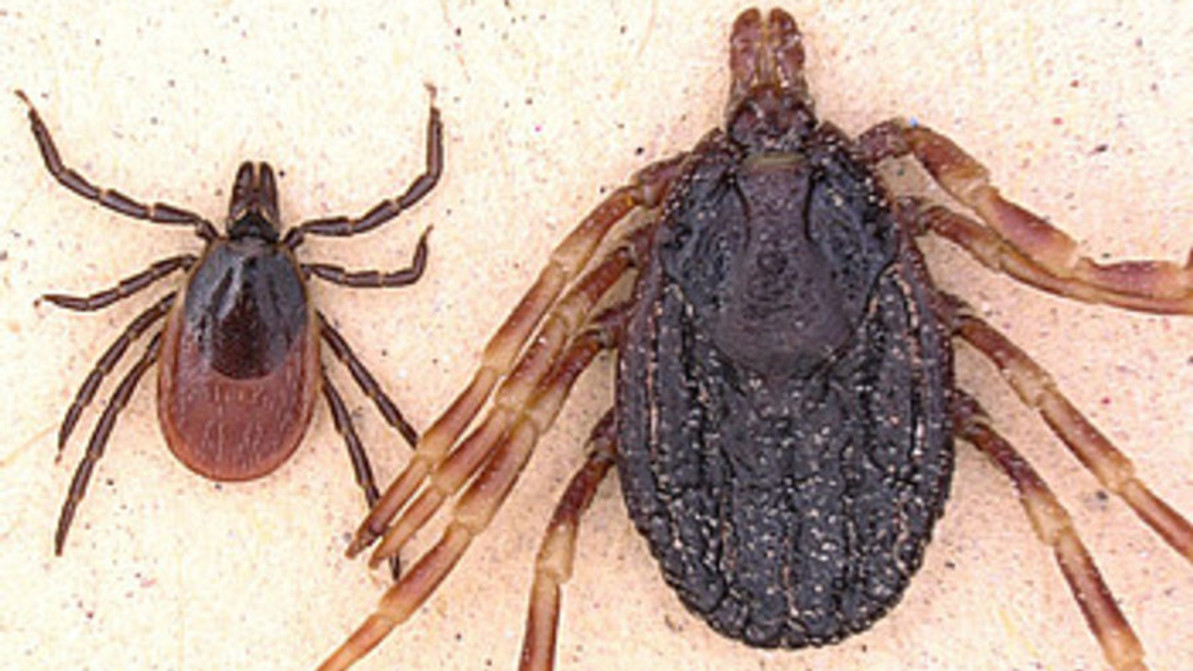 Tropical ticks threaten to bring Crimean-Congo fever to Germany