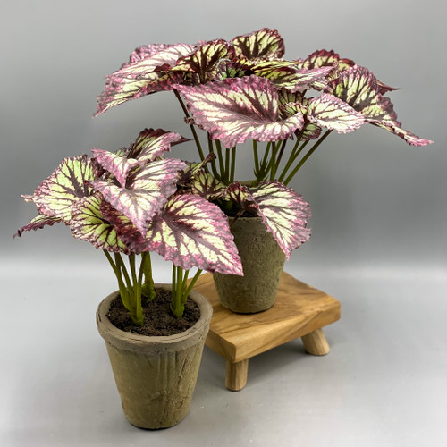 "Heirloom Begonia Potted 11"""