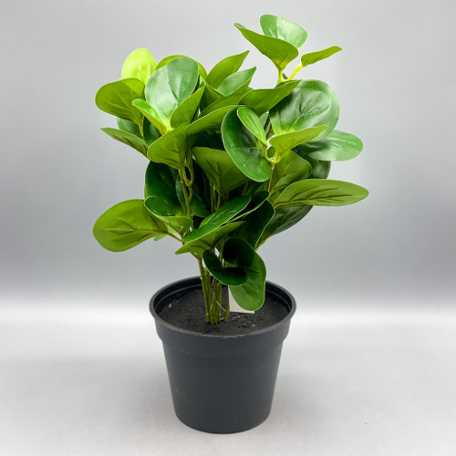 Peperomia Leaf in Pot