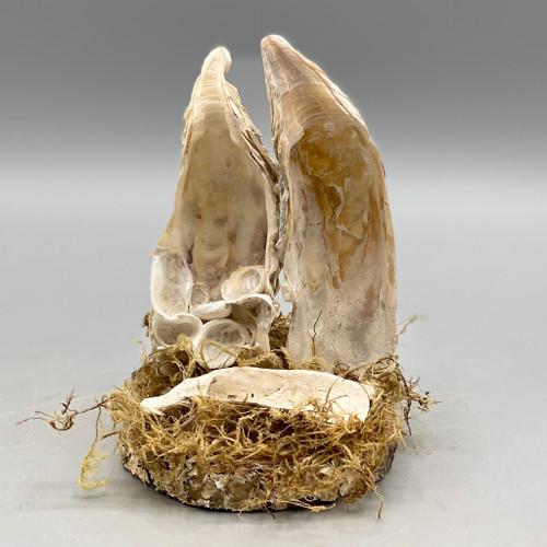 Oyster Shell Nativity