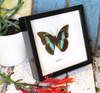 Preponas butterfly