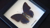 African butterfly species Charaxes tiridates Bits&Bugs
