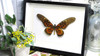 African butterfly Papilio antimachus Bits & Bugs