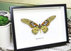 Framed butterflies Papilio antimachus Bits and Bugs