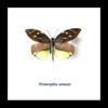 Framed butterflies Dismorphia nemesis Bits&Bugs