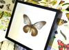 African Papilio zalmoxis butterfly specimen Bitsandbugs