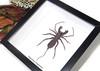 Whip spider taxidermy Hypoctonus rangunensis Bits & Bugs