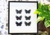 butterflies for sale Australia lepidoptra Callithea lepeuri