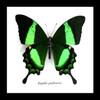 Papilio palinurus Bits & Bugs