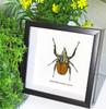 Mecynorrhina oberthuri unicolor  Bits and Bugs
