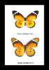 Australian butterfly species Danaus chrysippus Bits & Bugs