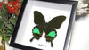 Framed butterfly Papilio karna Bits & Bugs