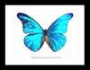 Metallic blue framed butterfly Morpho rhetenor mariajosianae paradisiaca