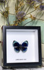 Framed butterfly Callithea leprieuri Bits&Bugs