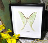 moon lunar moth Actias selene Indian moon moth Bits & Bugs