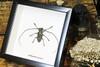 beetle beetle insect taxidermy entomology bug Stellognata maculata