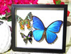 Framed butterflies Bits and Bugs