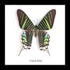 Real moth taxidermy specimen Urania leilus Bits&Bugs