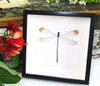 dragonfly for sale  Microstigma rotundatum  Bits and Bugs