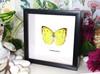Australian butterfly Catopsilia pomona Bits & Bugs