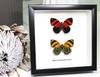Butterfly Callicore cynosura Bits & Bugs