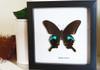 Papilio arcturus Bits&Bugs
