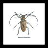 Beetles bugs insects Batocera rufomaculata framed beetle Bits & Bugs