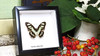 Framed butterfly collection Victorina stelenes Bits&Bugs