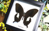 Framed butterfly Papilio fuscus Bits&Bugs
