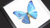 Taxidermy real butterfly Morpho adonis Bits&Bugs