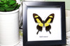 Framed butterfly  Bits&Bugs  Anaea nessus