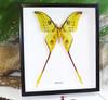 Moth Argema mittrei Bits & Bugs
