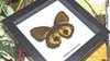 Australian butterfly in shadowbox frame Bits & Bugs