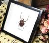 Real beetle Golofa porteri  Bits & Bugs
