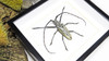 Beetles framed Batocera hercules Bits & Bugs