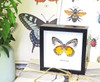 Taxidermy gold coast Butterfly Delias descombesi Bits&Bugs