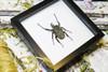 beetle in frame Australia insect bug Goliath albosignatus kirkianus Bits & Bugs