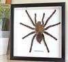 Haplopelma minax Bits & Bugs