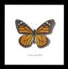 Australian butterfly for sale Monarch butterfly Bits&Bugs