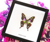 Real butterfly framed Graphium weiskei Bits&Bugs