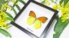Butterfly in frame Hebomoia leucippe Bits & Bugs