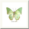 Charaxes eupale in white frame