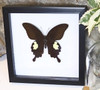 Real butterfly framed Papilio sataspes Bits & Bugs