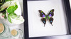 Butterfly species Graphium weiskei matt Bits&Bugs