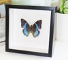 butterflies for sale Australia Charaxes smaragdalis matt Bits&Bugs