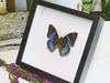 butterflies for sale Australia Charaxes smaragdalis matt Bits&Bugs