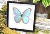 butterfly for sale Australia home decor interior design Morpho godarti Bits&Bugs