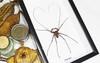 Cave spider Charon grayi Bits & Bugs