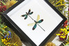 dragonfly butterfly taxidermy entomology
